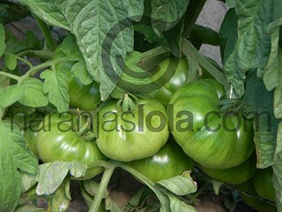 cultivando tomates raf