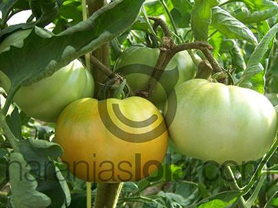 cultivando tomates valencianos
