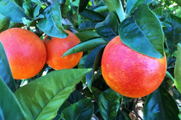 foto-naranjas-rojas-dulces